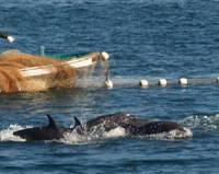 Dolphins crash into each other as they are herded into a capture cove in Taiji, Wakayama Prefecture, while Taiji assembly member Junichiro Yamashita speaks Monday at the Foreign Correspondents' Club of Japan in Tokyo about the mercury contained in dolphin meat served in local school lunches. | BOYD HARNELL / JUN HONGO PHOTOS