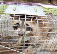 A raccoon is trapped in Asahikawa, Hokkaido, in September. | ASAHIKAWA CITY PHOTO/KYODO