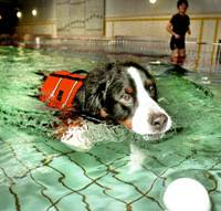 Meikyo, a 4-year-old male Bernese mountain dog, swims in a heated pool at the Dog Medical Fitness and Rehabilitation center in Meito Ward, Nagoya. | KYODO PHOTO