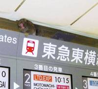 It's a zoo in there: A monkey sits atop the departure board Wednesday morning at Shibuya Station on the Tokyu Toyoko Line in Tokyo. | COURTESY OF TOKYU CORP.
