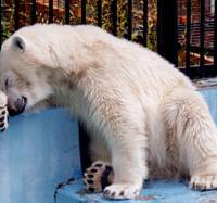 Gender trouble: Pirika the polar bear wipes its face at Sapporo Maruyama Zoo in Sapporo in August 2007. | KYODO PHOTO