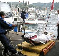 Vanishing breed: Fishermen haul ashore the biggest tuna caught this year in Iki, Nagasaki Prefecture, on Nov. 1. | DAVID MCNEILL PHOTO