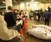 Hooked: Tourists watch an early-morning tuna auction at Tsukiji Fish Market in Tokyo in 2008. | THE JAPAN TIMES