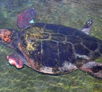Just getting by: Yu-chan, a loggerhead sea turtle missing part of its forelimbs, takes a swim at the Hiwasa Chelonian Museum in Minami, Tokushima Prefecture. | KYODO PHOTO