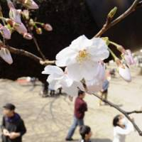 Party time: Cherry blossoms are shown opening on 'someiyoshino' trees in Tokyo's Yasukuni Shrine on Saturday.   KYODO PHOTO