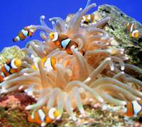 Here's Nemo: A Shizuoka aquarium is selling clown fish it has raised to help curb irresponsible fishing of the species spawned by the success of the animated film 'Finding Nemo.'   KYODO PHOTO