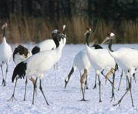 Taiwan-bound?: Red-crowned cranes, a species designated as a special national treasure, are seen in Kushiro, Hokkaido, last December.   KYODO PHOTO