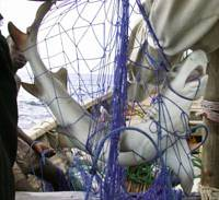 Collateral damage: A dead shark is entangled in a fishing net off Tanzania in this undated file photo. | COURTESY OF WWF