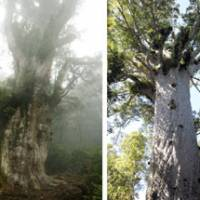 Counterparts: The Jomon Sugi cedar (left) on Yaku Island and the Tane Mahuta, a kauri tree in New Zealand, have been dubbed 'sister trees.'   KYODO PHOTO
