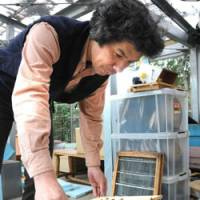 Bee careful: Jun Nakamura, professor and director of the Honeybee Science Research Center, opens a beehive at the Tamagawa University campus in late March. | SATOKO KAWSAKI PHOTO