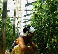 Easy listening: Shinichi Soga, a 31-year-old farmer in Niigata Prefecture, examines tomatoes at his farm while listening to music.   COURTESY OF SHINICHI SOGA