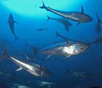 Catch of the day: Bluefin tuna, whose numbers have been rapidly decreasing, swim in the Atlantic in this undated file photo. | COURTESY OF WWF