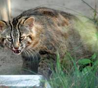 Not a vegetarian: A Tsushima leopard cat approaches food while cautiously watching a camera at Fukuoka's City Zoological Garden. | KYODO PHOTO