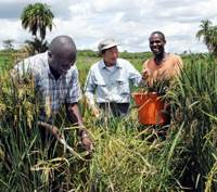 Hardy rice strain finds foothold in Africa