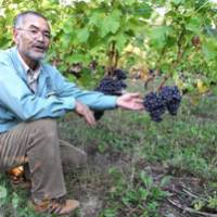 Fruit of the vine: Naoru Imamura, who is in charge of the Tsurunuma vineyard in Urausu, Hokkaido, shows its grapes last October. | KYODO PHOTO