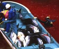 Bloody harvest: Fishermen work on a boat filled with dolphins in Taiji, Wakayama Prefecture, in October 2003. | AP PHOTO