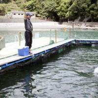 Tourist trap: A dolphin caught by fishermen in Taiji, Wakayama Prefecture, leaps from the water in a seaside pool as visitors look on in July. | KYODO PHOTO