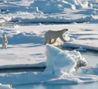 Bearing down: Polar bears are in danger of extinction due to climate change. | U.S. NATIONAL OCEANIC AND ATMOSPHERIC ADMINISTRATION / KYODO