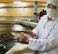 Still a delicacy?: Optima Foods Corp. President Toshiyasu Yoshimura shows off a nonpoisonous blowfish species it has succeeded in breeding at a farm in Ainan, Ehime Prefecture. | KYODO PHOTO