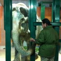 By the trunkful: Zookeeper Kotaro Takahashi feeds Hanako the Asian elephant at Inokashira Park Zoo in western Tokyo on Dec. 14. | KYODO