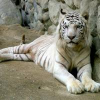 Long in the tooth: Ryu, at 20 Japan's oldest white tiger, is seen in an undated photo provided by Tobu Zoo in Saitama Prefecture. The cat was found dead in its pen Wednesday.   TOBU ZOO / KYODO