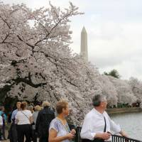 Cherry blossom festival to kick off March 20 in Washington