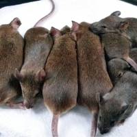 Riken researchers use single mouse to clone 598 mice of 26 generations