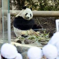 Bearing up: Shin Shin eats bamboo Friday as public viewing of the giant panda and her mate, Ri Ri, resumed at Tokyo's Ueno Zoo, following their brief mating period. | KYODO