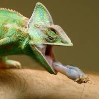 Snout of Africa: Chameleons are famous for a lightning-fast ability to catch prey with their tongue. | AFP-JIJI