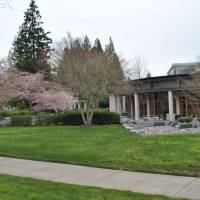 You can do hanami in the Microsoft 'campus' in Redmond, Washington. | AMY CHAVEZ