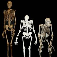 South African fossils show 'weird' mosaic of chimp-human traits