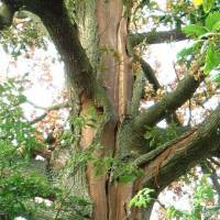 An unprotected English oak doomed after a powerful strike. | BEN FUEST / ARBORBOLT SYSTEMS