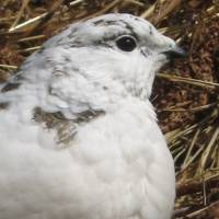 Formal dress: A Rock Ptarmigan in white winter plumage poses for a portrait. | CHRIS COOK