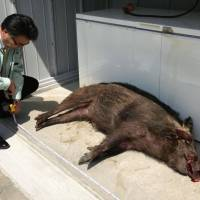 Hog wild: A municipal official measures the carcass of a wild boar that had apparently been hit by a car Thursday in Tatsuno, Hyogo Prefecture. The boar is believed to be the same one that went on a rampage in the town of Taishi earlier in the day. | KYODO