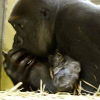 Endangered gorilla gives birth again at Ueno Zoo