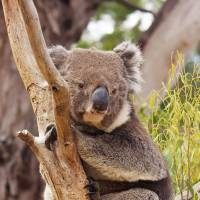 Hang in there: Koalas may soon be vaccinated en masse against chlamydia, which together with an AIDS-like virus has been ravaging their population.   J.J. HARRISON