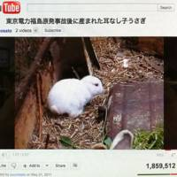 Hopping mad: Image of a YouTube video, which has gained media attention recently, showing a baby rabbit born without ears in a village just outside the Fukushima 30-km exclusion zone.