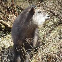 Homegrown: Unique to Japan, the Japanese Serow is found only on the three main islands south of Hokkaido.