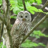 An adult Ural owl looks and listens for prey