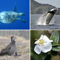 Natural attractions of the islands (clockwise from top left): green turtles; humpback whales; the endemic Ogasawara Islands peony; and black-footed albatrosses.