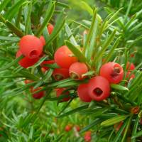 Hues of ages: Christians have adopted green as the color of eternal life, and hence of Jesus Christ, and at Christmas link it with red, the color of his blood at the Crucifixion. However, the roots of the colors' mysticism, as on this fruiting yew, are far more ancient. | MARK BRAZIL PHOTO