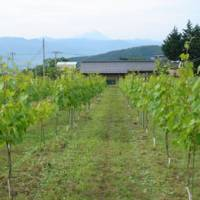 Stick 'em up: Vertical shoot positioning (VSP), as seen here, allows grapes to ripen more evenly than traditional methods.