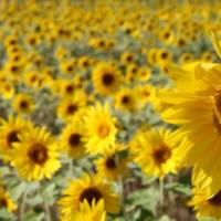 Nature's bounty: Sunflowers in Niseko | KATE CROCKETT PHOTOS