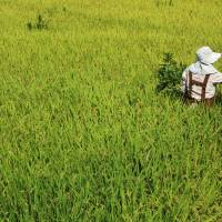 Bounty hunter: A Yagyu farmer weeds a field of rice that's almost ready to harvest. | ALON ADIKA
