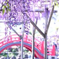 Wisteria wanderings in Kameido