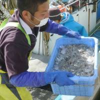 Back on the menu: A fisherman at the port of Otsu in Kitaibaraki holds a box full of whitebait caught Tuesday morning off northern Ibaraki Prefecture. | KYODO