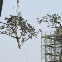 Keeping up appearances: A section of the 'miracle pine' is lowered to the ground by a crane for remodeling work in Rikuzentakata, Iwate Prefecture, on Monday.   KYODO