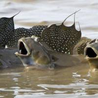 Singing for their supper?: A trio of mudskippers splash agape in mud flats in the Ariake Sea in Ogi, Saga Prefecture, on Wednesday. The species, which once faced extinction, saw an eightfold increase in its population, according to the first survey of the fish, known as 'mutsugoro,' in 16 years. | KYODO