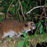 A Crossley's dwarf lemur | AFP-JIJI