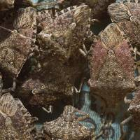 Little stinker:  The brown marmorated stink bug has taken an estimated $37 million bite out of the mid-Atlantic apple crop in the U.S. over the past 12 years. | THE WASHINGTON POST